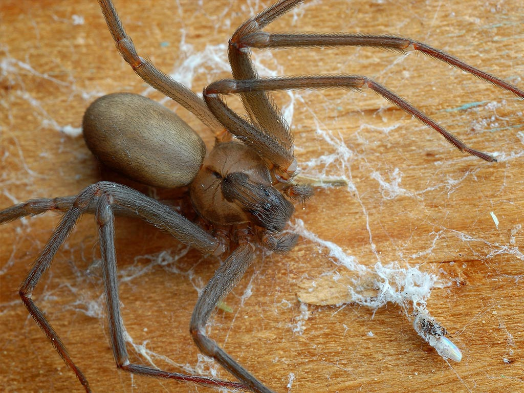 chilean-recluse-spiders