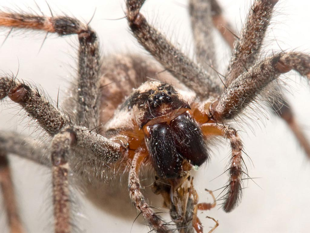 funnel-web-spiders