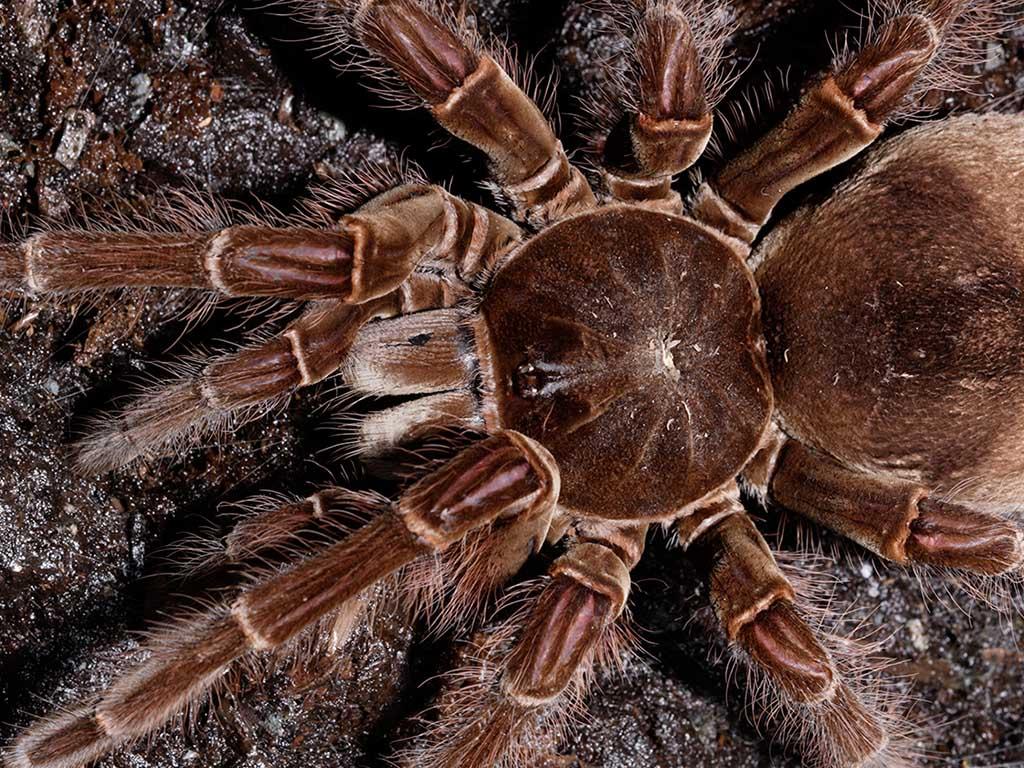 goliath-bird-eater-tarantula