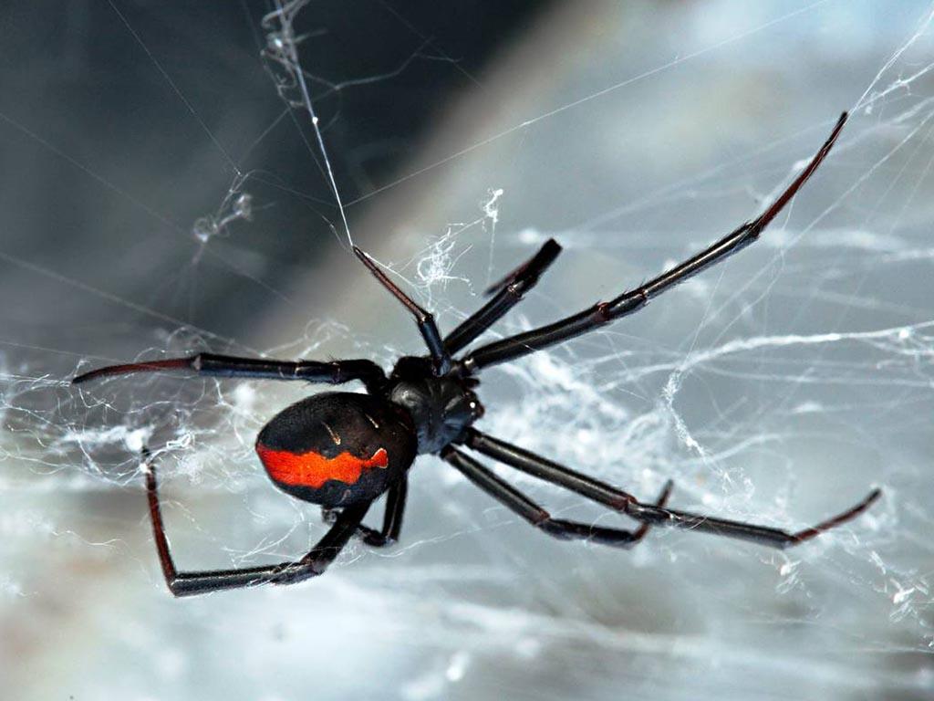 redblack-spiders